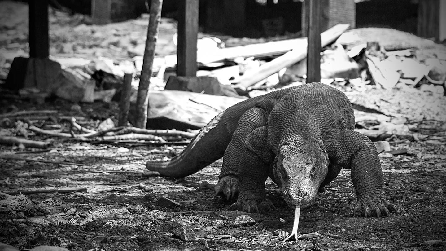 komodo national park komodo dragon rinca royal fortuna cruises